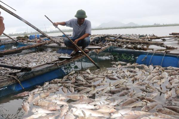 Hàng tấn cá và hàu nuôi trên sông Cửa Sót chết hàng loạt