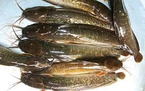 Huyện Phụng Hiệp (Hậu Giang): Phát triển mô hình nuôi cá trê vàng trên ruộng lúa