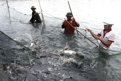 Ninh Bình: Triển vọng từ mô hình nuôi cá theo hướng VietGap
