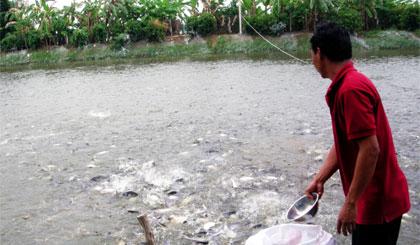 Lại lo lắng với giá cá tra trồi sụt