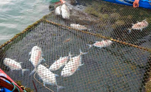 Thừa Thiên Huế: Cá lồng chết hàng loạt ở đầm Lập An