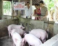 Quế Phong (Nghệ An): Hiệu quả từ mô hình chăn nuôi lợn thịt, gà an toàn sinh học