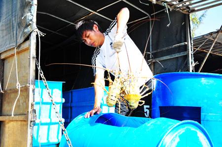 Cam Ranh: Phát triển tôm hùm xanh