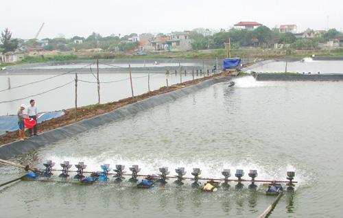 Thanh Hóa: Các huyện vùng triều thả nuôi 4.073 ha tôm vụ xuân – hè