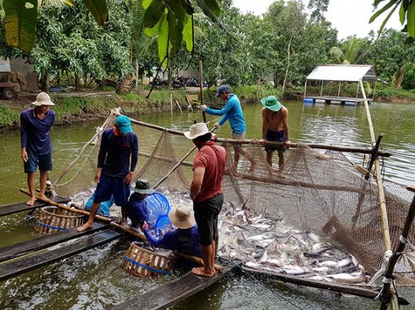 Nâng trách nhiệm với cá tra