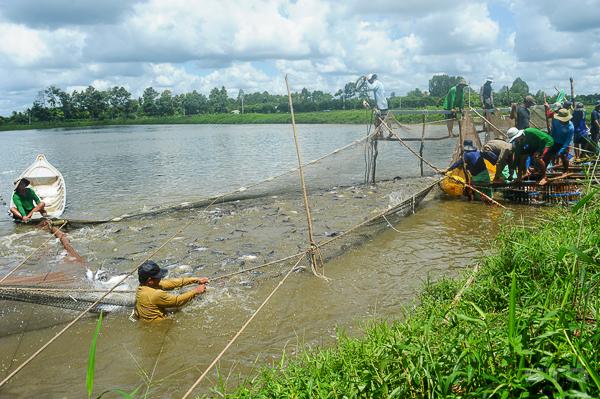 Giá cá tra tăng nhưng người nuôi cần thận trọng
