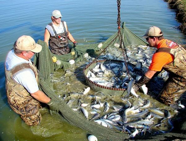 Mỹ: Cá nheo Mississippi ế ẩm vì Covid-19