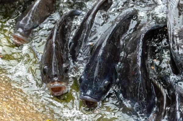 Cải thiện mô hình nuôi cá rô phi ao đất bằng zeolite