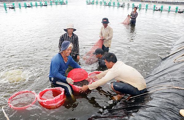 Bến Tre: Sản lượng nuôi tôm biển tăng gấp 7 lần so với cùng kỳ năm 2020